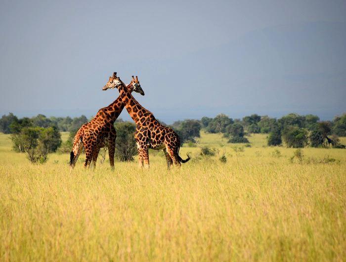 Four Top Places for Uganda Safari Holidays